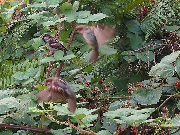07_Aug_14_Sparrows
