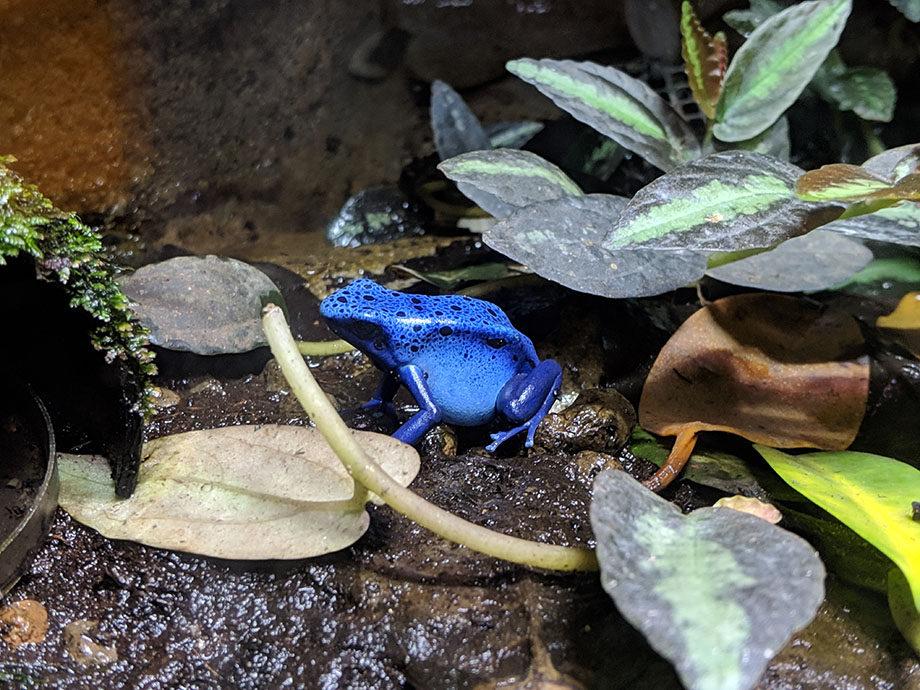 Horniman_bluefrog